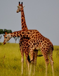 Two Giraffes hugging!