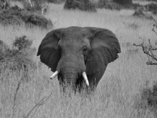 He was the first elephant we saw...popped up from the trees out of nowhere and trumpeted at us.